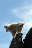 Bergsfår som tillbaka ser över Harney maximumtornspira royaltyfria foton