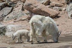 Bergsfårbarnflicka och hennes unge Arkivfoton