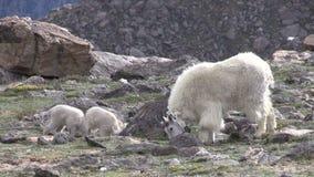 Bergsfårbarnflicka och ungar stock video