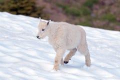 Bergsfåret - behandla som ett barn på orkankullesnowfield i olympisk nationalpark royaltyfri bild