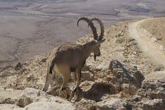 Bergsfåret med härliga stora horn går bland vaggar på a Arkivfoton