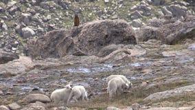 Bergsfårungar stock video