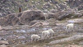 Bergsfårungar i det alpint stock video