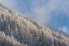 Bergsidan som täckas i snöig, sörjer träd mot blå himmel Arkivfoton