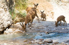 Bergsteenbok, ein Gedi-oase, Israël Royalty-vrije Stock Afbeelding