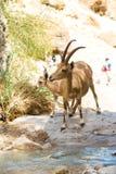 Bergsteenbok, ein Gedi-oase, Israël Royalty-vrije Stock Foto