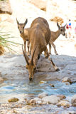 Bergsteenbok, ein Gedi-oase, Israël Royalty-vrije Stock Fotografie