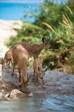 Bergsteenbok, ein Gedi-oase, Israël Stock Fotografie