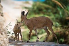 Bergsteenbok, ein Gedi-oase, Israël Royalty-vrije Stock Afbeeldingen