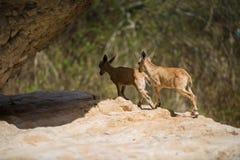 Bergsteenbok, ein Gedi-oase, Israël Stock Afbeeldingen