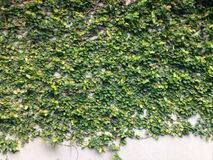 Bergsteiger, Anhänger, Kriechpflanze, Rebe, Wanderer, Klematis Ficus pumila lizenzfreies stockfoto