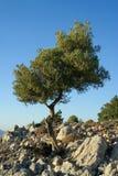 bergtree Arkivbilder