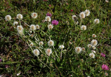 Bergväxt av släktet Trifolium Royaltyfri Fotografi
