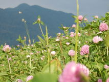 Bergväxt av släktet Trifolium Arkivbild
