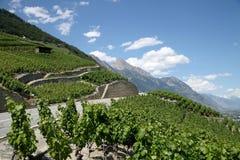 Bergweg en vinegroves op helling Stock Foto