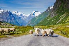 Bergweg met sheeps en sneeuwbergen op de achtergrond Royalty-vrije Stock Foto