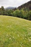 Bergweide, die met witte en gele bloemen bloeien royalty-vrije stock afbeeldingen