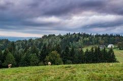Bergweide en Koeien stock fotografie