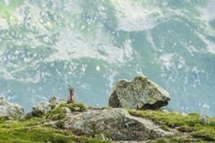 Bergziege auf den Felsen, Berg Bianco, Berg Blanc, Alpen, Italien stockfoto