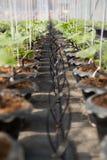 Berieselungssystem für organische Melonenanlage Stockbilder