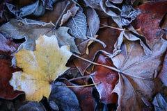 Berijpte bladeren Stock Foto's
