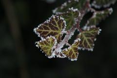 Berijpte bladeren Zeer goed beeld Royalty-vrije Stock Fotografie