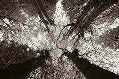 Berijpte Bomen Royalty-vrije Stock Afbeeldingen