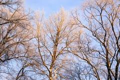 Berijpte Bomen Royalty-vrije Stock Foto