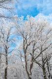 Berijpte bomen bij zonnige de winterdag Stock Afbeeldingen