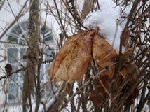 Berijpte esdoornbladeren Stock Afbeelding