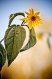 Berijpte gele bloem Stock Afbeeldingen