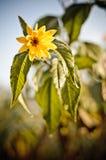 Berijpte gele bloem Royalty-vrije Stock Foto