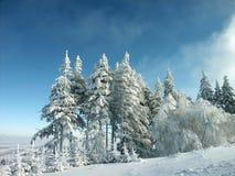 Berijpte sneeuw behandelde pijnboombomen Stock Afbeeldingen