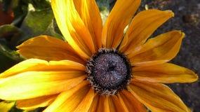 Berijpte zonnebloem Stock Fotografie