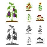 Beringela, tomate, girassol e ervilhas Ícones ajustados da coleção da planta nos desenhos animados, estoque monocromático do símb Fotos de Stock