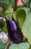 Beringelas maduras que crescem no jardim Imagens de Stock