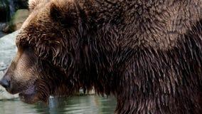 Beringianus arctos Ursus бурого медведя Камчатки Меховая шыба Брайна, опасность и агрессивное животное сток-видео