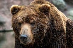 Beringianus arctos Ursus бурого медведя Камчатки стоковые фотографии rf