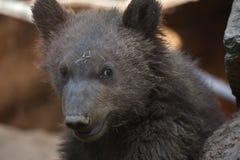 Beringianus arctos Ursus бурого медведя Камчатки Стоковые Изображения