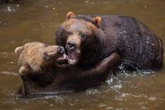 Beringianus arctos Ursus бурого медведя Камчатки Стоковое Изображение