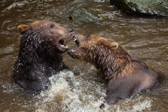 Beringianus arctos Ursus бурого медведя Камчатки Стоковое Фото