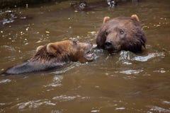 Beringianus arctos Ursus бурого медведя Камчатки Стоковая Фотография RF