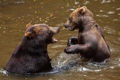 Beringianus arctos Ursus бурого медведя Камчатки Стоковое фото RF