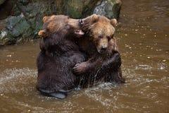 Beringianus arctos Ursus бурого медведя Камчатки Стоковое Изображение RF
