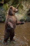 Beringianus arctos Ursus бурого медведя Камчатки Стоковые Фото