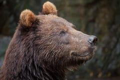Beringianus arctos Ursus бурого медведя Камчатки Стоковая Фотография