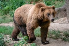 Beringianus d'arctos d'Ursus d'ours brun du Kamtchatka photographie stock