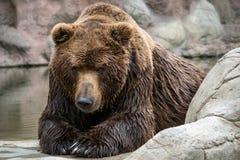 Beringianus dos arctos do Ursus do urso marrom de Kamchatka fotos de stock