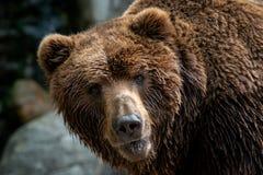 Beringianus för arctos för Kamchatka brunbjörnUrsus royaltyfri foto