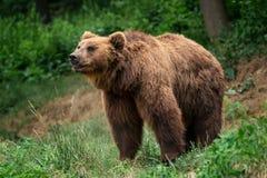 Beringianus för arctos för Kamchatka brunbjörnUrsus arkivbilder